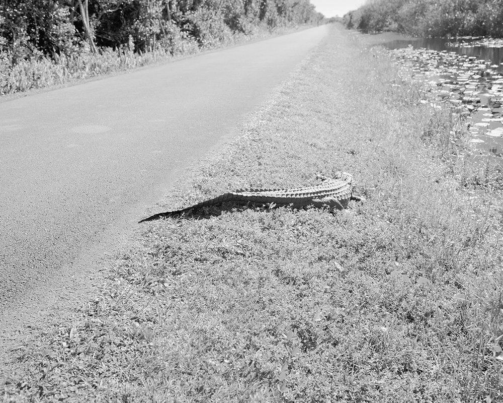 Marion Belanger, Alligator, 2016