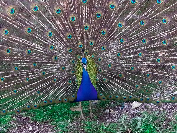 20130423_peacock-0023.jpg
