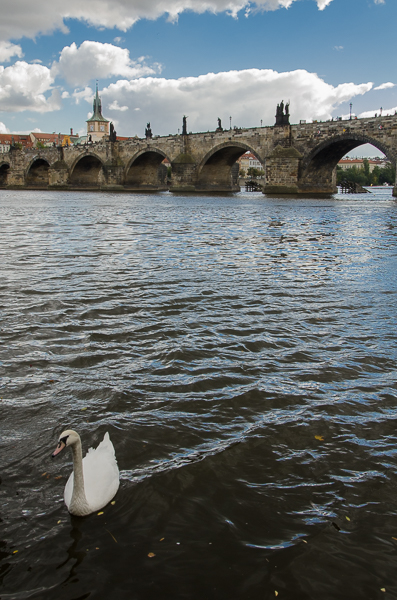 Swan with Charles Bridge