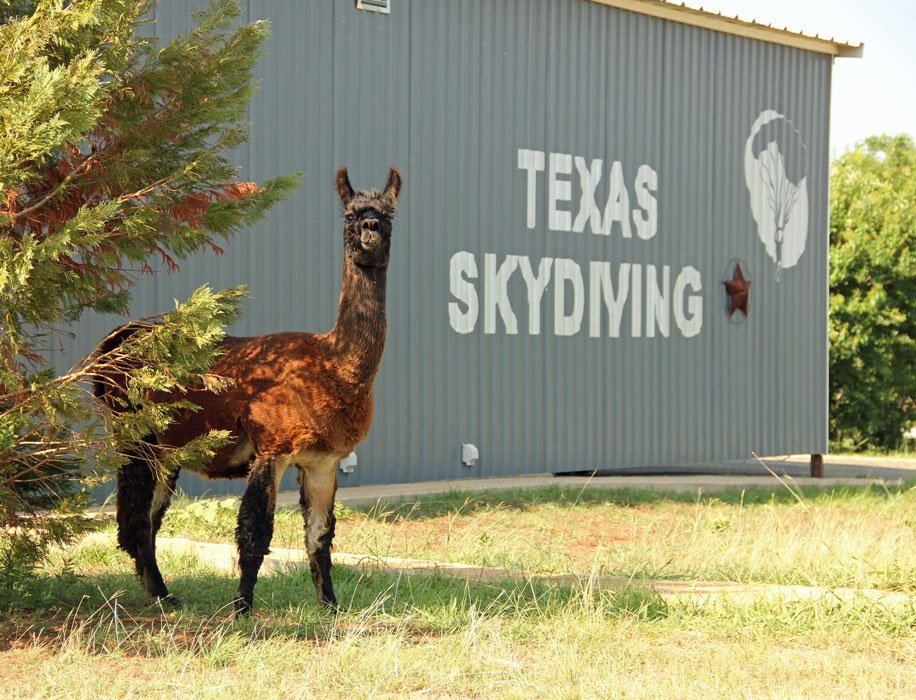 Llama at the Drop Zone, Texas Skydiving, in Central Texas near Austin.