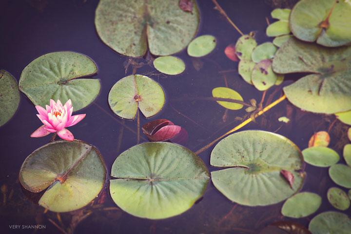 Waterlilies | VeryShannon.com