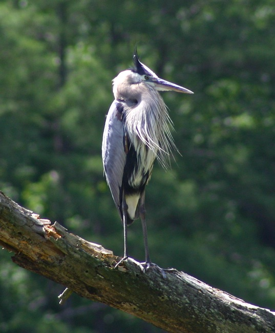 The Great Blue Heron, photograph by William R. Beebe