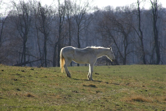 Sunlit white horse at Welbourne
