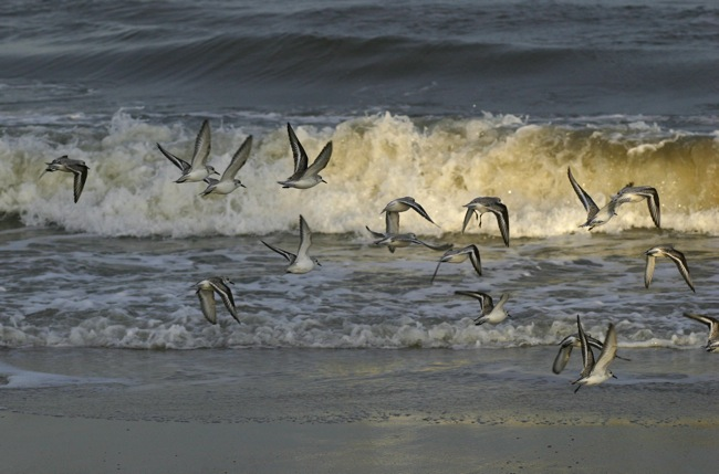 Flight of the Sandpipers!