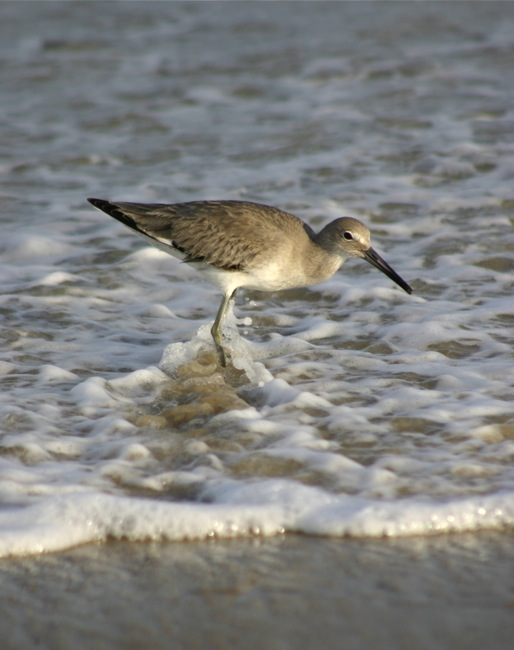 The Eastern Willet