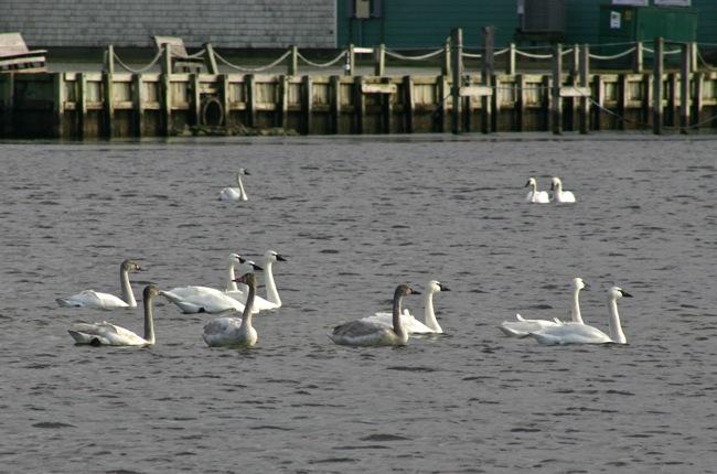 Tundra Swans Gathering!