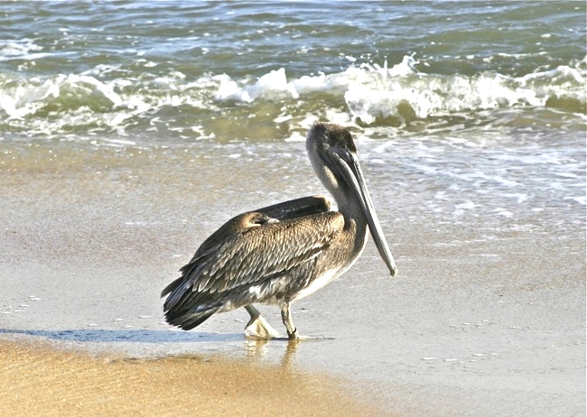 My photo of a Brown Pelican on the beach in Duck, NC