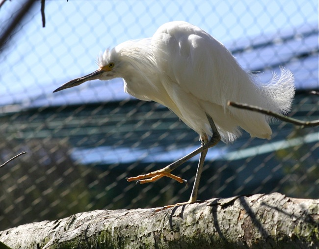 Cattle Egret on one leg!