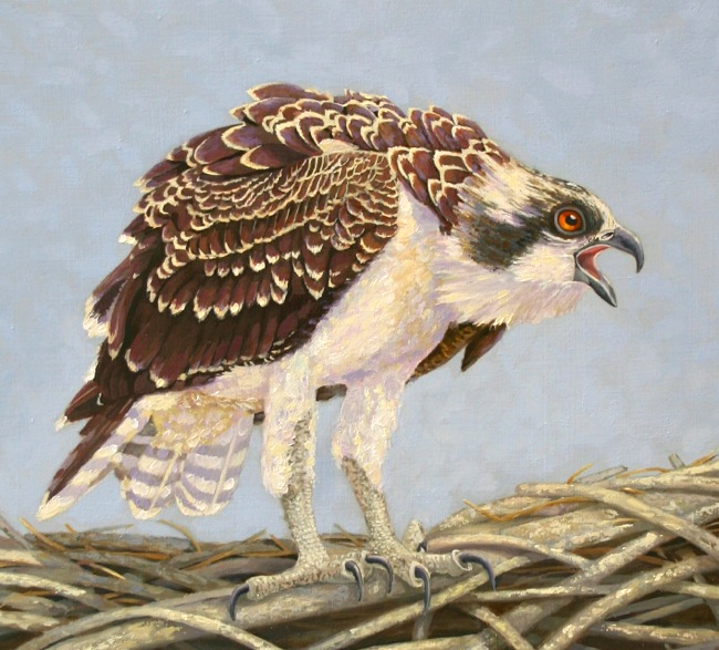 Young Osprey's Blue Yonder detail shot