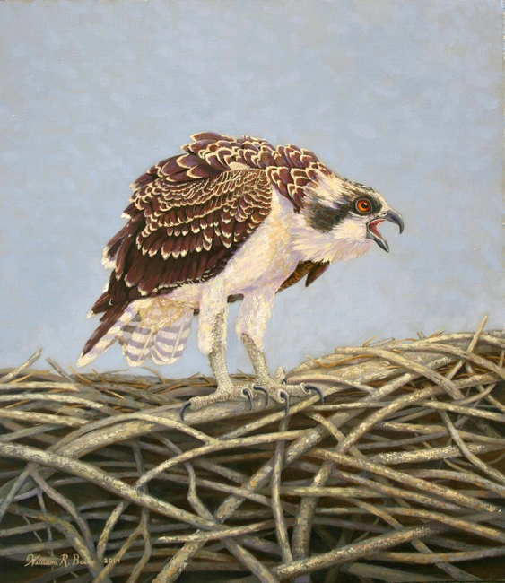 Young Osprey's Blue Yonder, 16 x 14, Oil on board by William R. Beebe