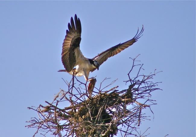 Osprey landing with fish, photograph by William R. Beebe