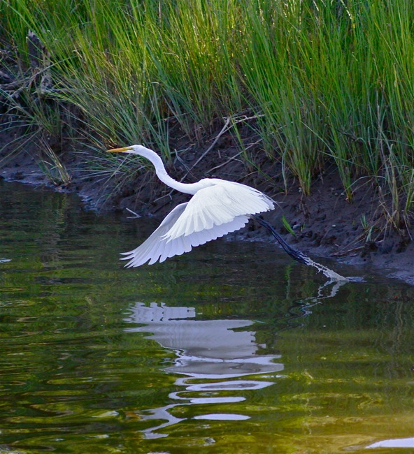 White Egret on take-off, photograph by William R. Beebe