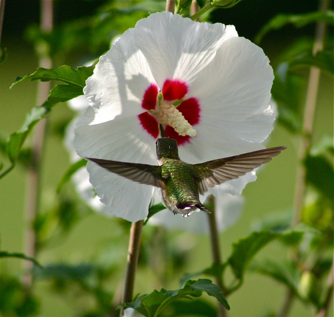 Hummingbird on a Hibiscus, photograph by William R. Beebe