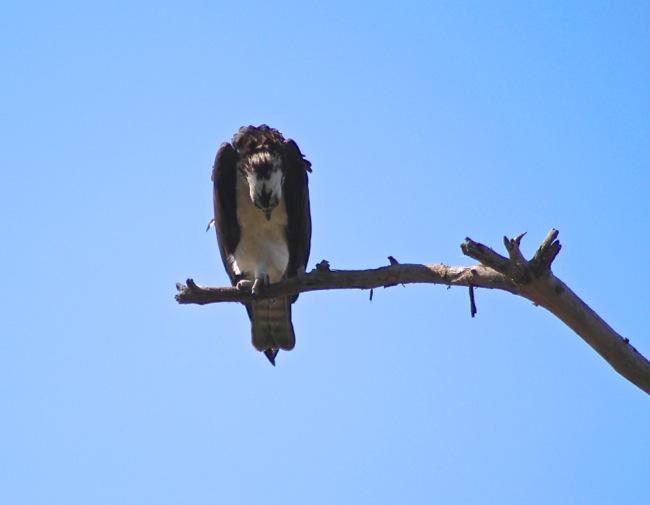 Devastated Osprey!