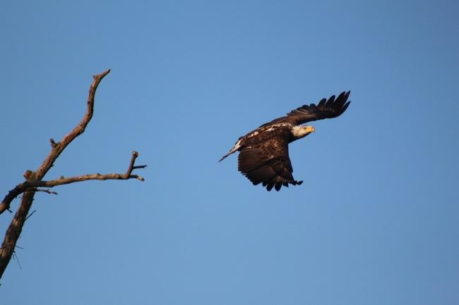 Eagle taking off!