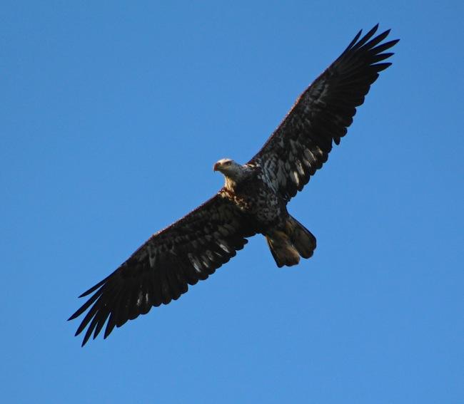Eagle full wingspan!