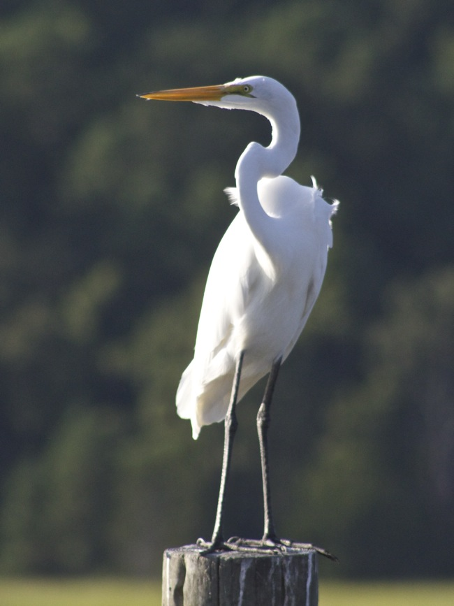 Great White Egret, photo by William R. Beebe