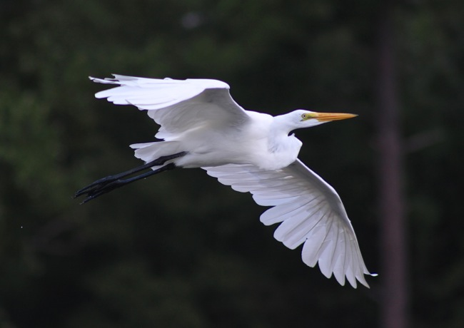 Egret in Flight, photo by William R. Beebe