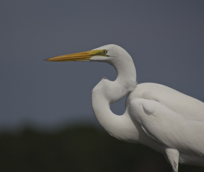 Egret profile, photo by William R. Beebe