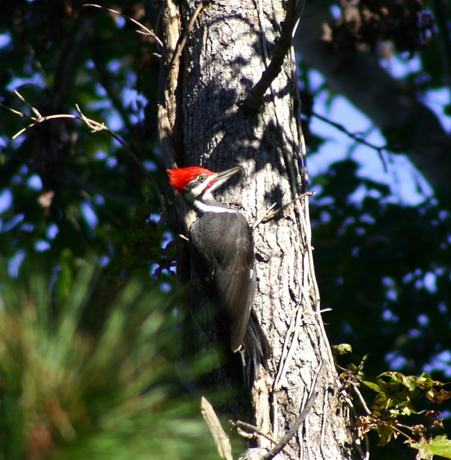 Pileated Woodpecker photographed by William R. Beebe