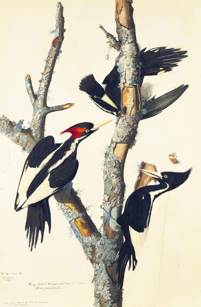Ivory-billed Woodpeckers by John James Audubon