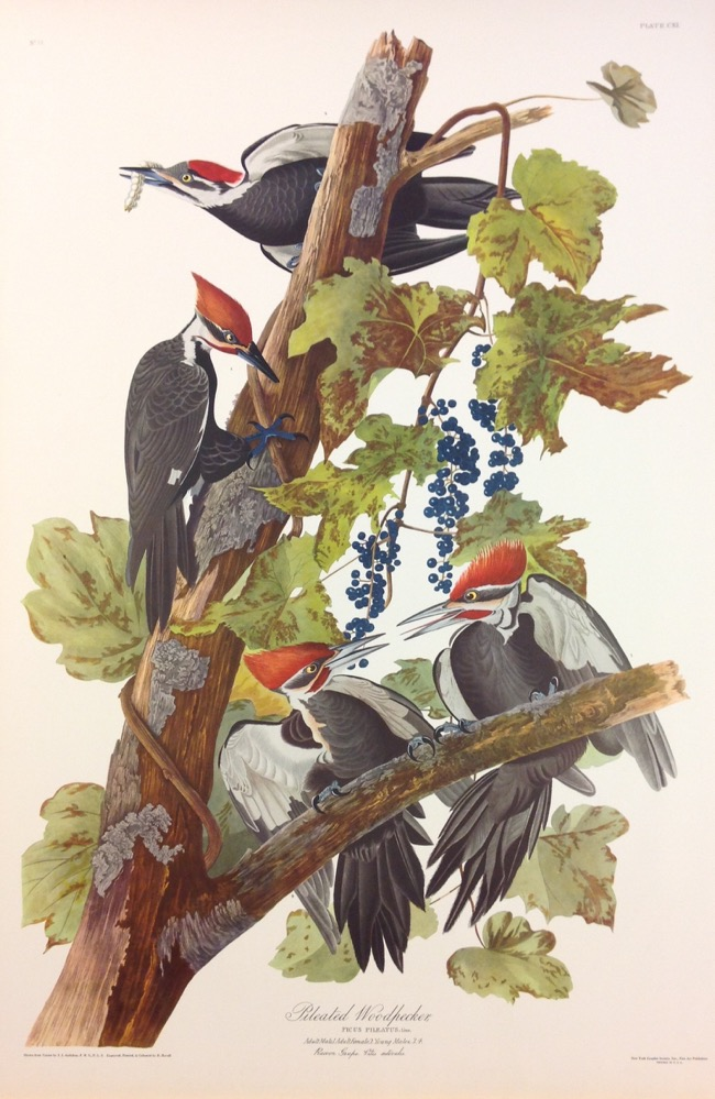 Pileated Woodpeckers by John James Audubon
