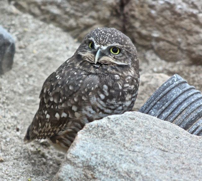 The Burrowing Owl photographed by William R. Beebe