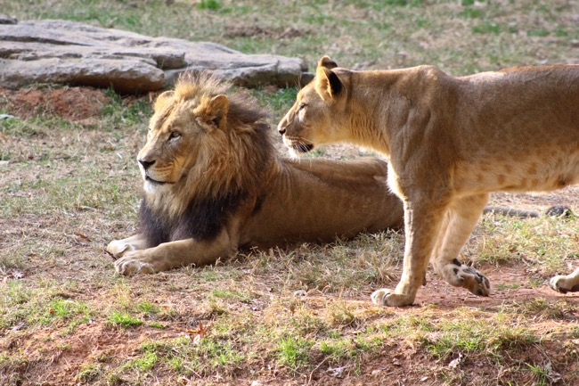 Reilly and Mekita the Female Lion photographed by William R. Beebe