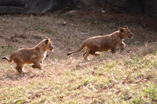 Lion cubs playing photographed by William R. Beebe