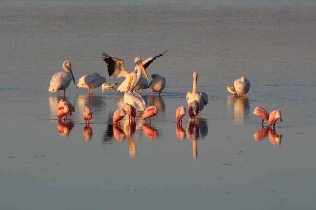 """Gather 'round"" at Ding Darling Wildlife Refuge ~ White Pelicans and Roseate Spoonbills"