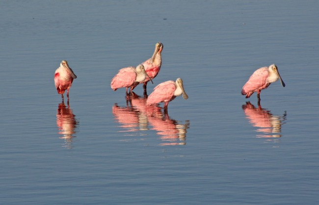 Roseate Spoonbills in Ding Darling National Wildlife Refuge