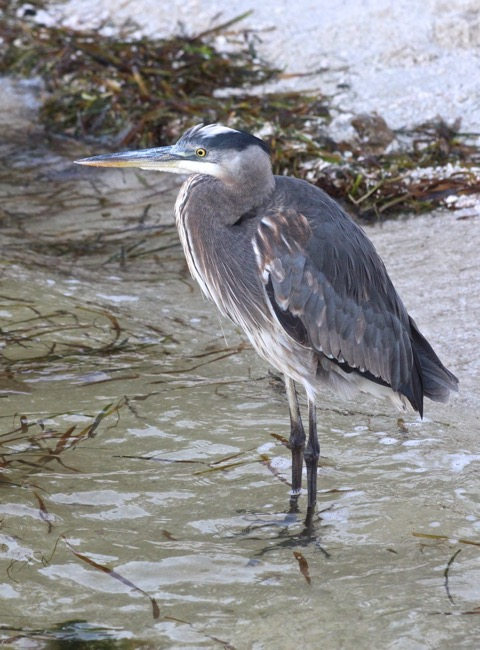 Sanibel Blue Heron