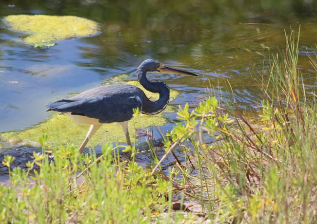 Tricolored Heron in Ding Darling National Wildlife