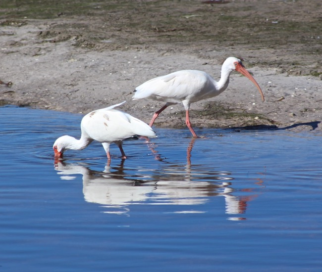 White Ibis in Ding Darling National Wildlife Refuge