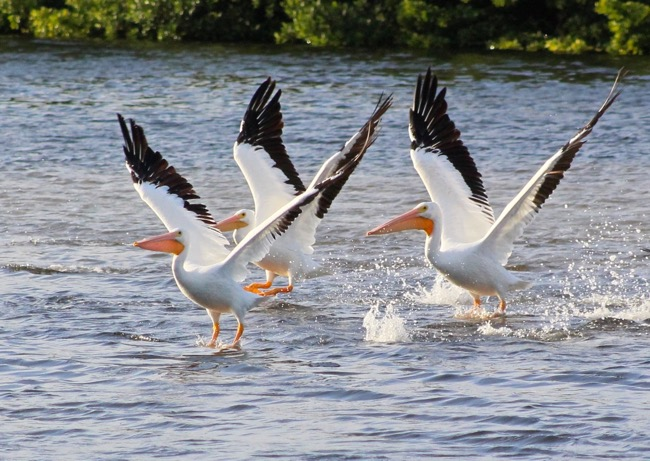 White Pelicans Taking Off in Ding Darling National Wildlife Refuge