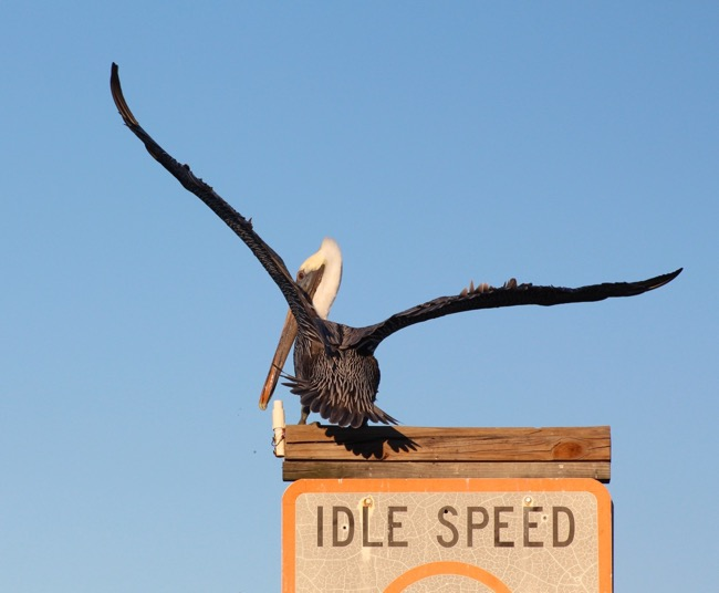 Sanibel Brown Pelican