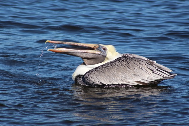 Brown Pelican Gargling in Marathon FL