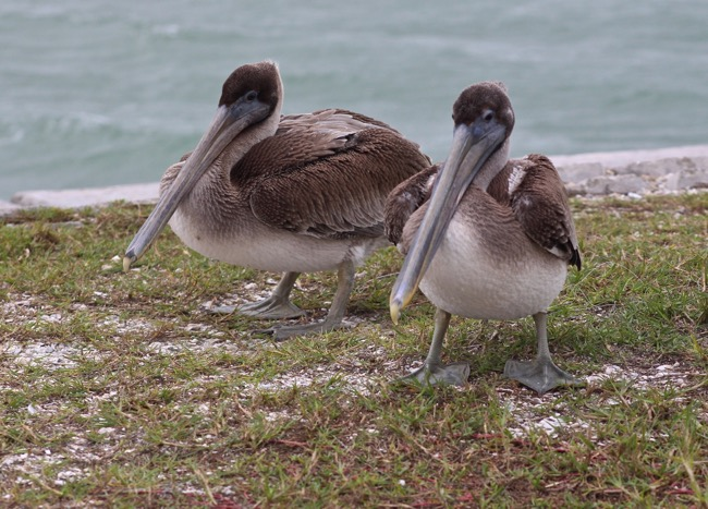 Sanibel Brown Pelicans