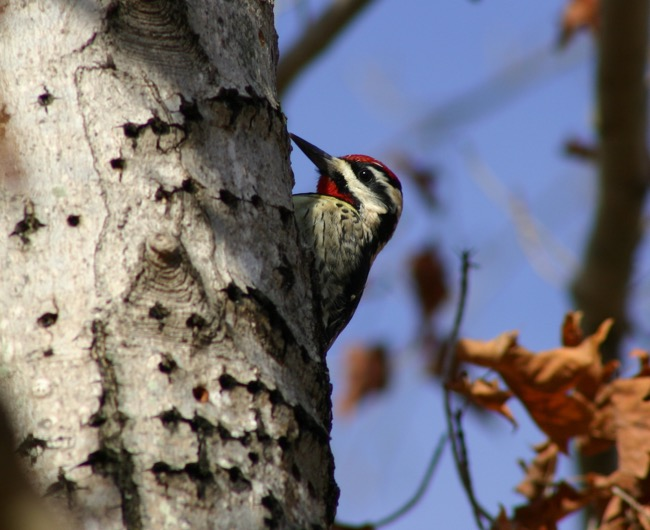 Yellow-bellied Sapsucker  photographed by William R. Beebe
