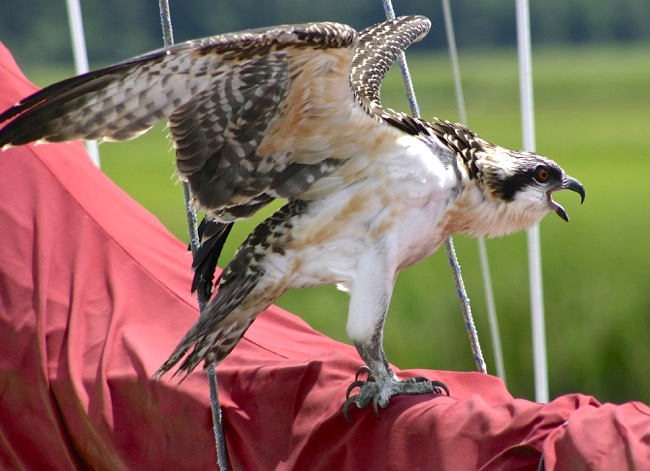 Juvenile Osprey putting a few holes in the mainsail!