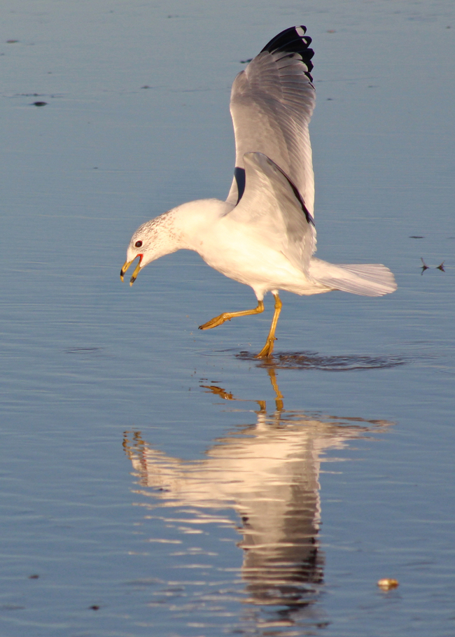Narcissistic Gull, photo by William R. Beebe