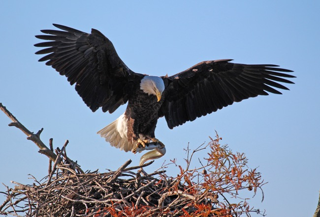 The American Bald Eagle Our National Symbol And Fierce Bird Of