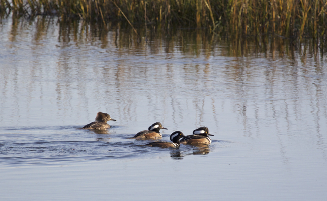 Mergansers cruising on the wetlands!