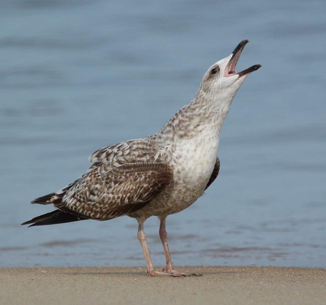 Calling all Gulls!