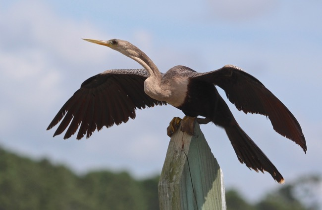 Anhinga getting ready to take off after drying its wings.
