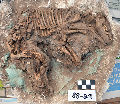 Excavated dog burial