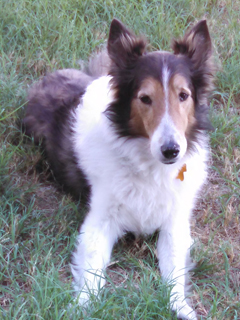 Austin Sheltie Rescue   Robin   Robin is a 6-8 year old male sable & white sheltie. He is neutered, current on on all vaccinations, and heartworm negative. He is housebroken and walks well on a leash.  He has a mellow personality and gets along well with other dogs.