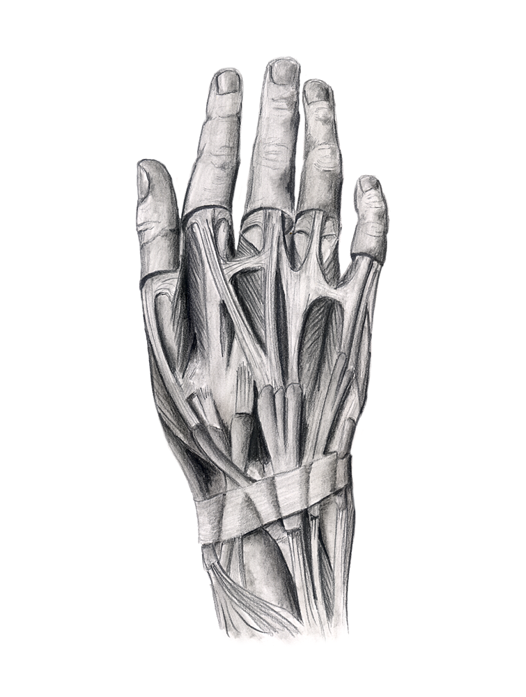 Disected hand.png