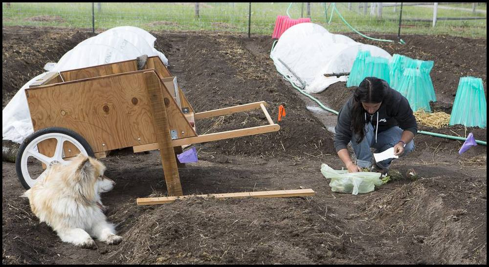 Mary separates onion starts and prepares to plant in one of our raised beds.