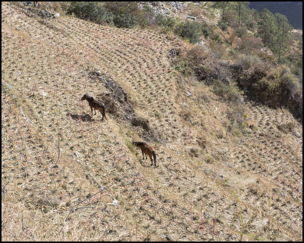 Horses, some of Tibetan origin, graze along the contours of a freshly harvested field.  Harvesting is done by hand and with small, walking tractors.